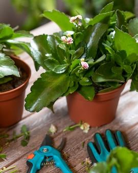 Giardiniere uomo che taglia il brivido della vedova, pianta di kalanchoe con forbici da giardino e guanti widow's-thrill, pianta di kalanchoe con forbici e guanti da giardino
