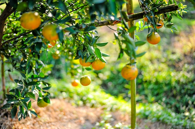 Giardino arancione con molti frutteti maturi.