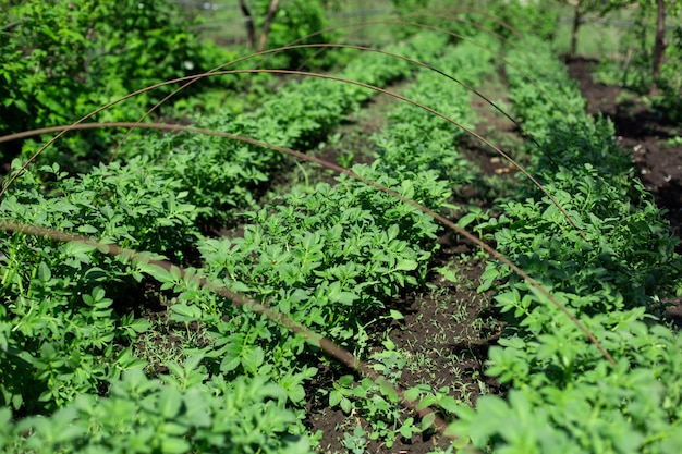 Giardino con patate piantate a filari. concetto di agricoltura.