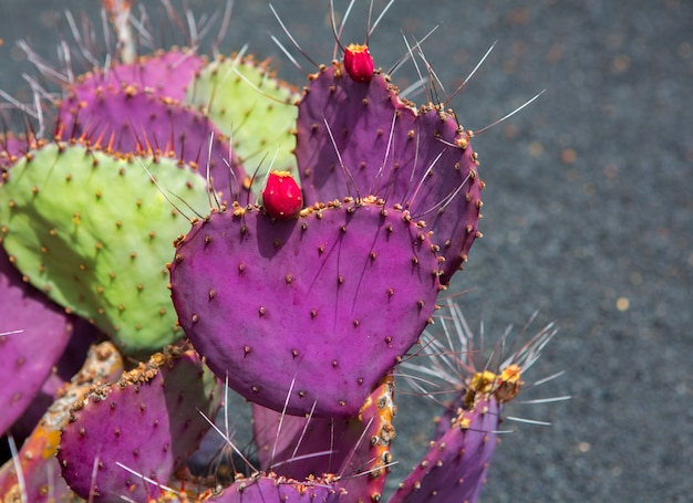 Giardino dei cactus di lanzarote guatiza opuntia macrocentra