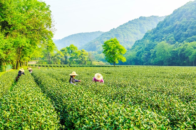 Giardino del tè longjing nel west lake