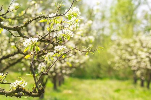 Giardino delle mele con alberi in fiore