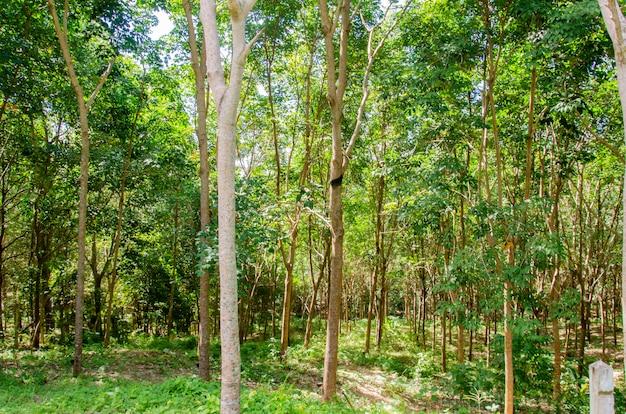 Giardino di alberi della gomma
