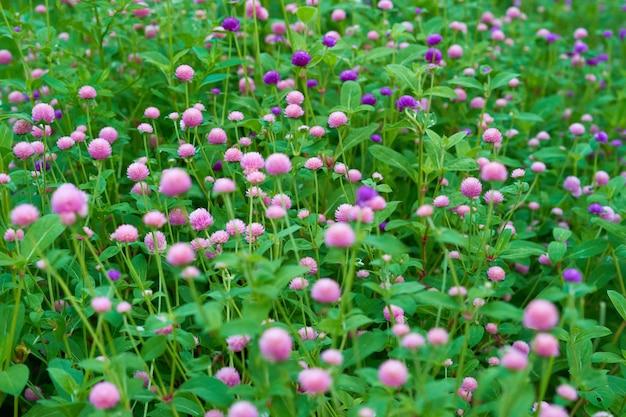 Giardino di fiori dell'amaranto di globo nel colore rosa e porpora, fuoco selettivo