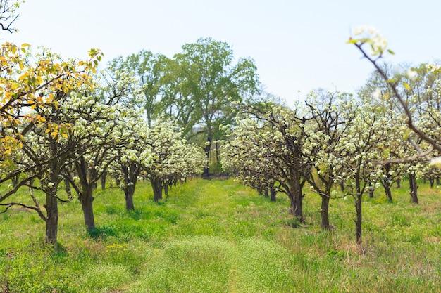 Giardino di mele con alberi in fiore