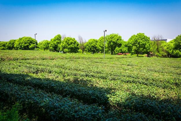 Giardino di tè verde, coltivazione collina