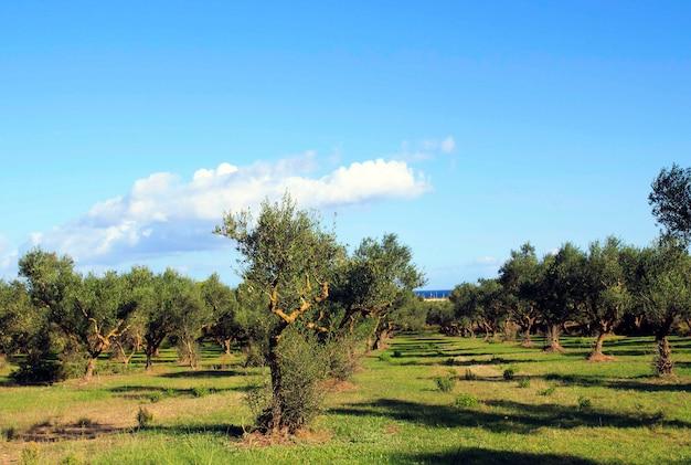 Giardino di ulivi con erba verde. grecia. zante.