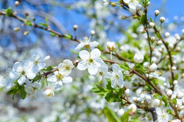 Giardino fiorito. alberi da frutto in fiore. paesaggio primaverile. messa a fuoco selettiva.