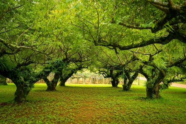 Giardino giapponese di albicocche. focalizzazione morbida.