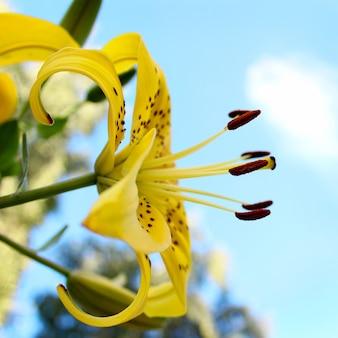 Giardino giglio giallo
