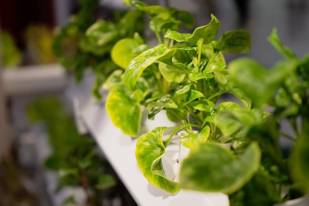 Giardino idroponico delle verdure raccolte giovani e fresche organiche
