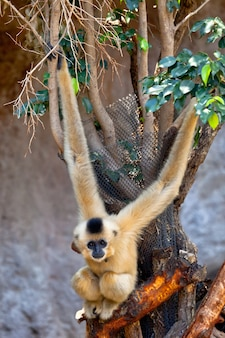 Gibbon di guance dorate, nomascus gabriellae