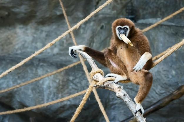 Gibbone bianco.
