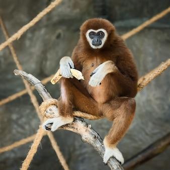 Gibbone dalle mani bianche.