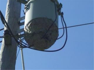 Gigante nido api su trasformatore di potenza
