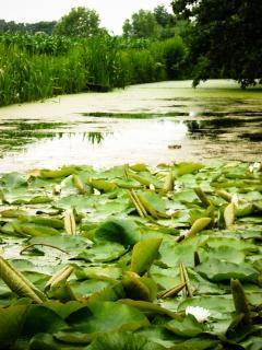 Gigli piante acquatiche del lago