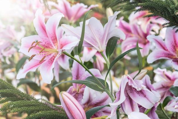 Gigli rosa nel giardino