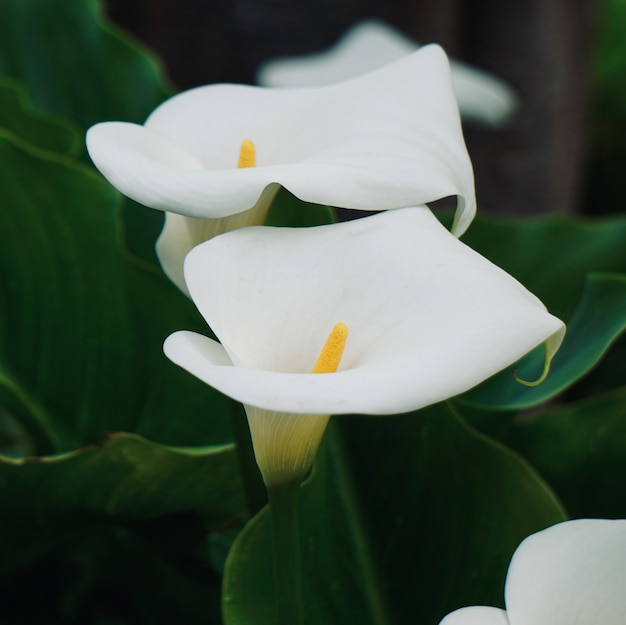 Giglio di calla bianca nel giardino in primavera