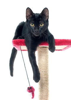 Gioco del gattino nero