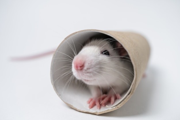 Gioco di topo da laboratorio con tubo