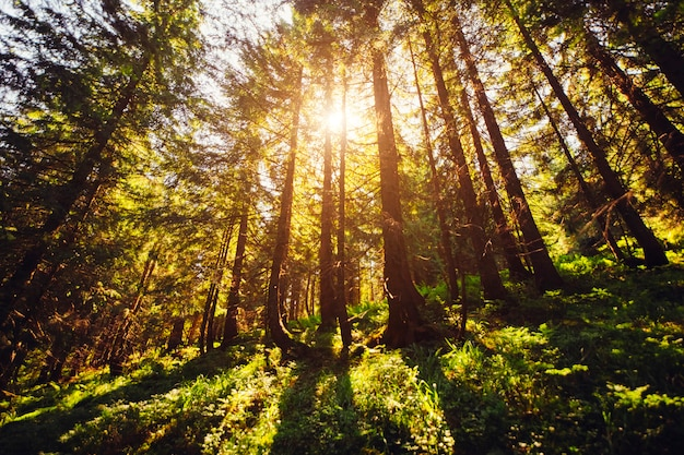 Giornata di sole nei boschi dei carpazi in estate. la luce del sole passa attraverso i vecchi pini nella foresta. erba verde chiaro nella foresta.