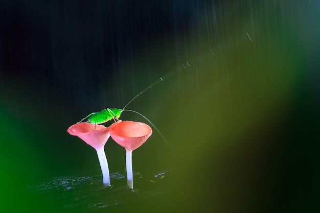 Giornata piovosa e la cavalletta sui funghi rossi