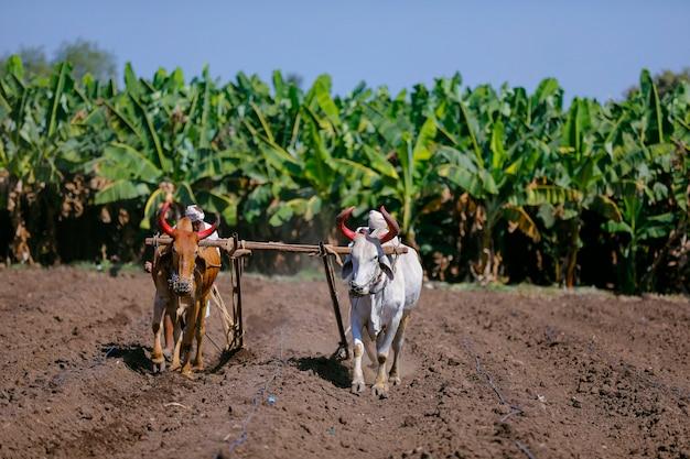 Giovane agricoltore indiano che ara al campo