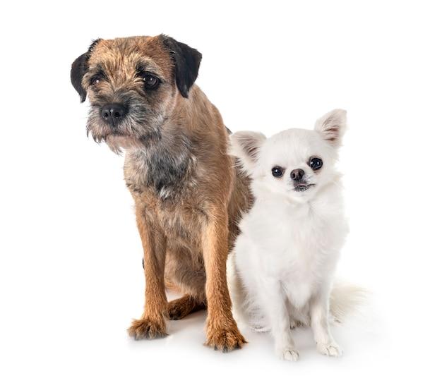 Giovane border terrier e chihuahua
