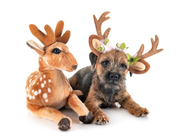 Giovane border terrier