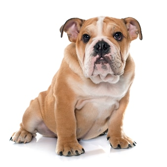 Giovane bulldog inglese