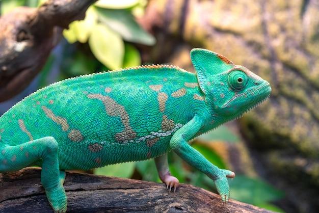Giovane camaleonte verde. habitat naturale. animale domestico carino. fauna della natura.