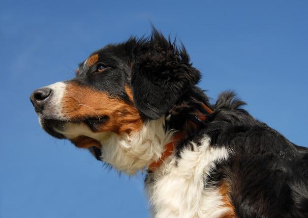 Giovane cane bernese