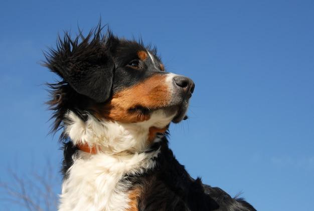 Giovane cane da montagna bernese