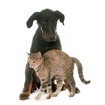 Giovane cane e gattino beauceron