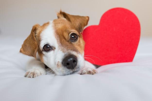Giovane cane piccolo sveglio che si siede sul letto con un cuore rosso. concetto di san valentino. animali domestici al chiuso