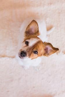 Giovane cane sveglio che esamina la macchina fotografica con le orecchie divertenti. vista dall'alto.
