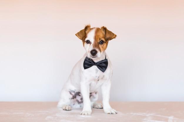 Giovane cane sveglio sopra fondo bianco che indossa una cravatta a farfalla e che esamina la macchina fotografica. animali domestici al chiuso. amore per il concetto di animali.