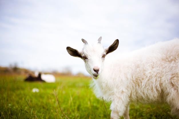 Giovane capra al pascolo nel prato e mangiare erba.