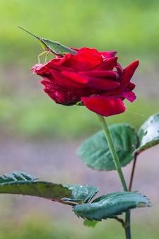 Giovane cavalletta verde sulla rosa rossa.