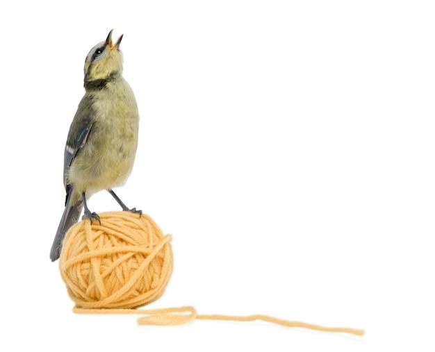 Giovane cinciarella che sta sulla palla del filato di lana davanti al fondo bianco
