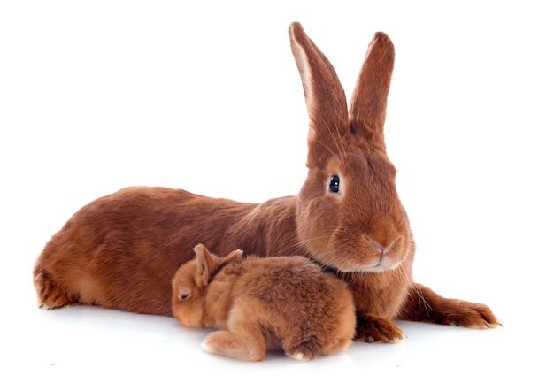 Giovane coniglio e madre