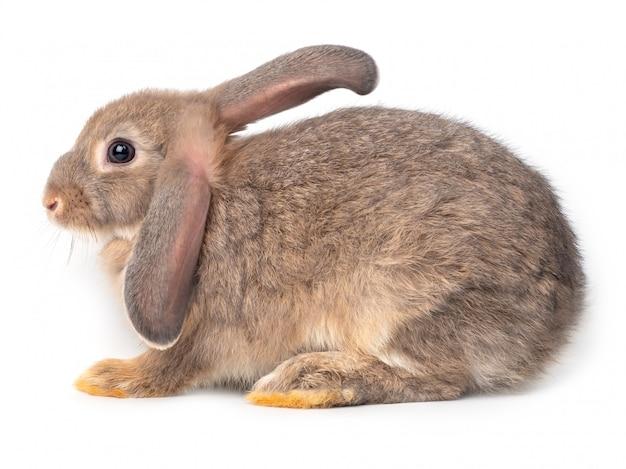 Giovane coniglio sveglio grigio isolato