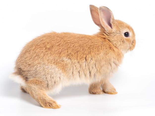 Giovane coniglio sveglio rosso-marrone isolato su fondo bianco.