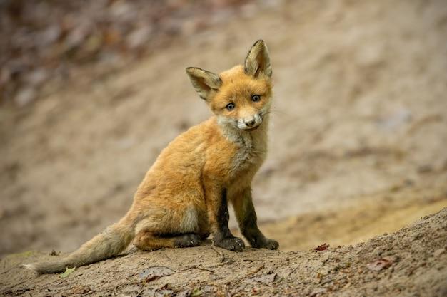 Giovane cucciolo di volpe rossa che si siede sulla terra in foresta vicino alla tana