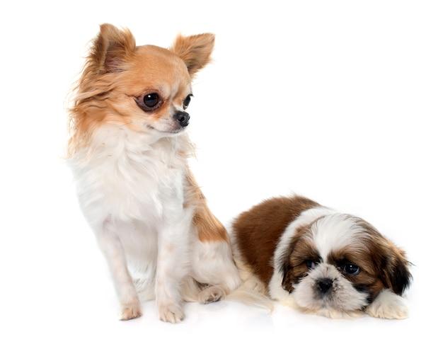 Giovane cucciolo shitzu e chihuahua