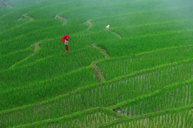 Giovane donna con l'ombrello rosso che si rilassa nei terrazzi verdi del riso in vacanza al villaggio paing del pa bong, mae-marmellata chiang mai, tailandia