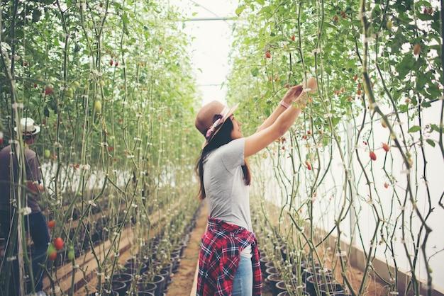 Giovane donna in una serra con pomodori biologici, raccolta.