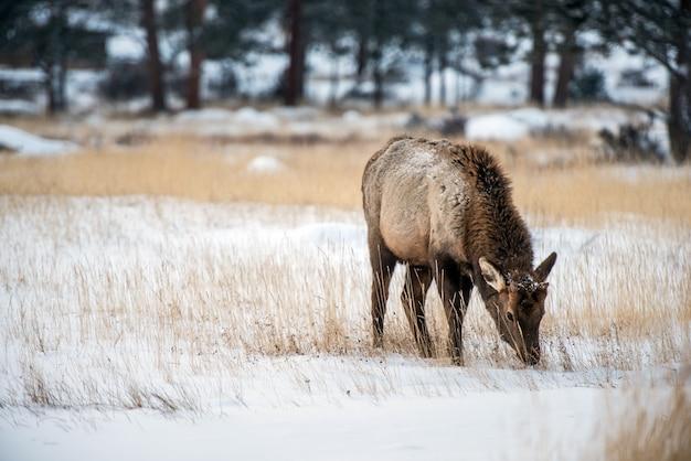 Giovane elk in inverno