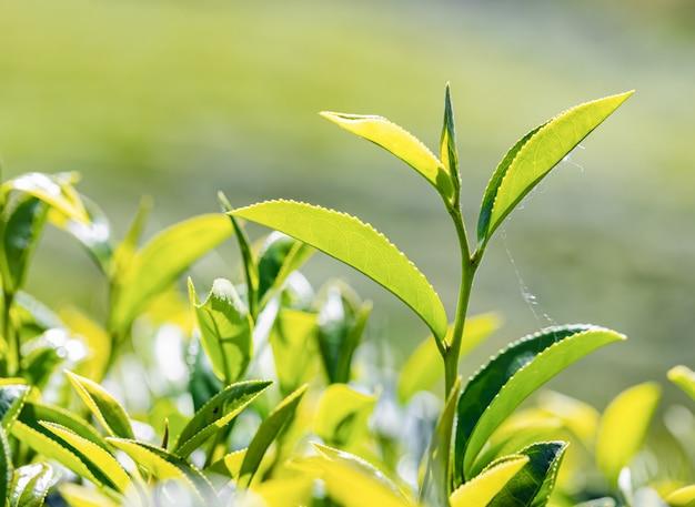 Giovane foglia di tè verde