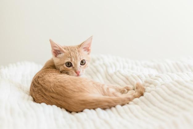 Giovane gatto rosso su un copriletto bianco